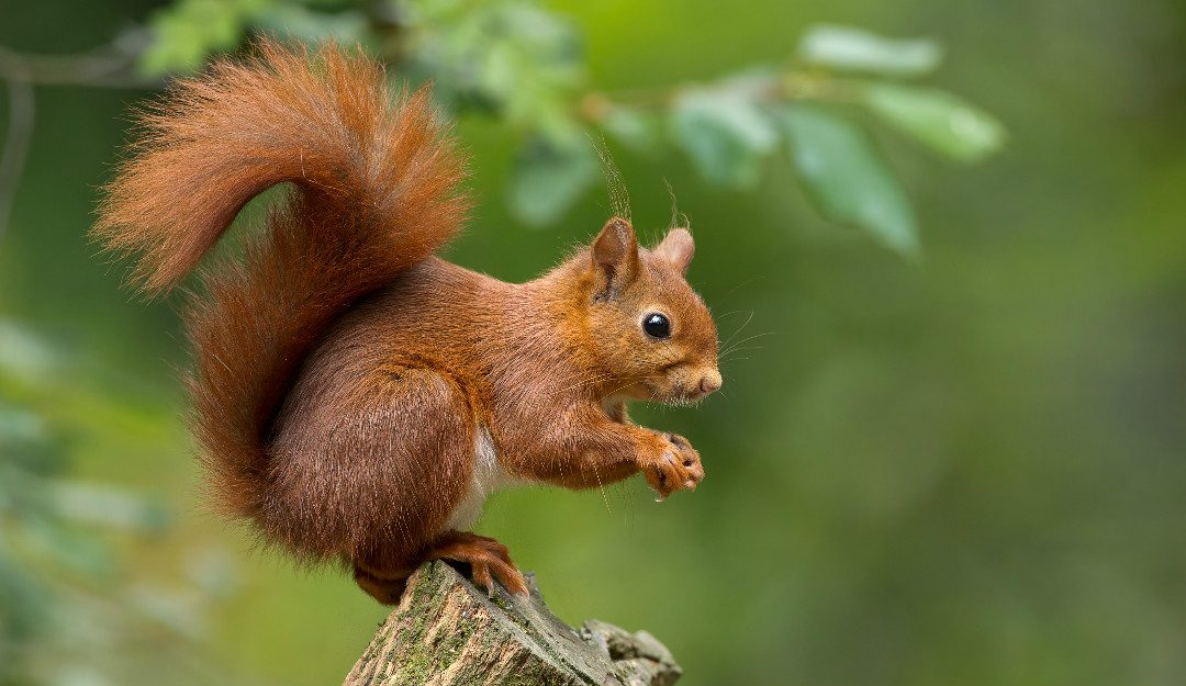What's Causing the Rise in Red Squirrel Numbers in UK Woodlands?